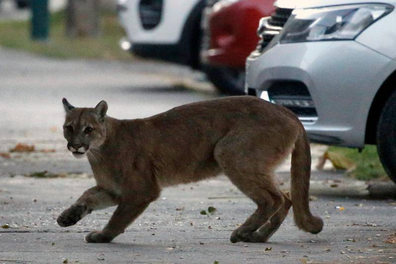 Picture released by Aton Chile showing an approximately one-year-old puma in the streets of Santiago on March 24, 2020 which according to the Agricultural and Livestock Service (SAG) came down from the nearby mountains in search for food as less people are seen in the streets due to the coronavirus, COVID-19, pandemic. (Photo by Andres PINA / ATON CHILE / AFP) / Chile OUT / RESTRICTED TO EDITORIAL USE