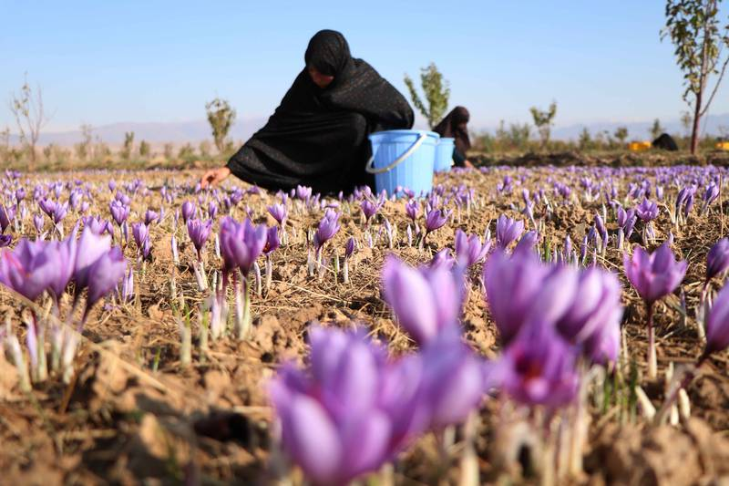 epa07974436 Afghan women harvest saffron flowers in Herat, Afghanistan, 05 November 2019. According to reports the saffron industry in the province of Herat has hired more than five thousand farmers with 40 percent of them being women, to cultivate about one thousand acres of land (about four square kilometers). The World Bank states that saffron is a lucrative alternative to poppy cultivation while international buyers around the world have been attracted by its good quality including Europe, US, China, and India.  EPA/JALIL REZAYEE