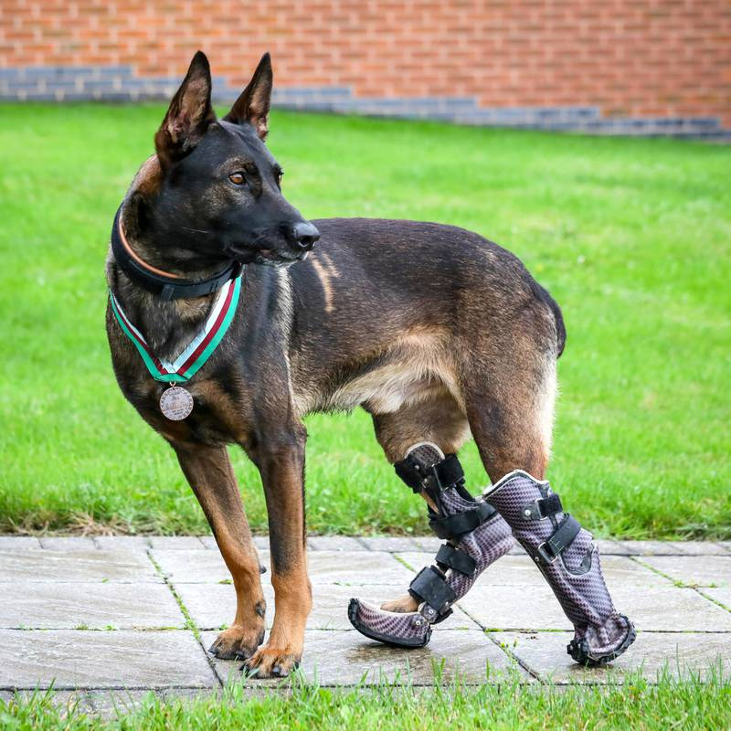 Retired military dog Kuno is to receive the prestigious PDSA Dickin Medal for valour – the animal Victoria Cross – after he was wounded in action while heroically saving the lives of British Forces fighting Al Qaeda. Retired military dog Kuno is to receive the prestigious PDSA Dickin Medal for valour – the animal Victoria Cross – after he was wounded in action while heroically saving the lives of British Forces fighting Al Qaeda. During a dangerous operation in 2019, three-year-old Belgian Shepherd Malinois Kuno and his handler were deployed in support of specialist UK and host nation forces on a compound raid against a well-armed and aggressive enemy when they came under attack. Pinned down by grenade and machine-gun fire from an insurgent, the assault force was unable to move without taking casualties. Without hesitation, Kuno charged through a hail of gunfire to tackle the gunman, breaking the deadlock and changing the course of the attack, allowing the mission to be completed successfully. During the assault Kuno was wounded by bullets in both back legs. He was given life-saving treatment by his handler and by medics in the back of a helicopter. His injuries were so severe he required several operations before he was stable enough to fly back to the UK. Sadly, part of one of Kuno's rear paws had to be amputated to prevent life-threatening infection. But now he is thriving after becoming the first UK military working dog to be fitted with custom made prosthetic limbs.Hospital. Picture by Shaun Fellows / Shine Pix Ltd   Notes to Editors At PDSA we believe that every pet deserves to live a happy and healthy life. As the UK's leading veterinary charity, with 51 Pet Hospitals and over 380 Pet Practices, we strive to improve pets' lives – through prevention, education and treatment. Every year our dedicated veterinary teams carry out 2.7 million treatments on 470,000 pets. For media enquiries contact the Press Office on 01952 797234, email pr@pdsa.org.