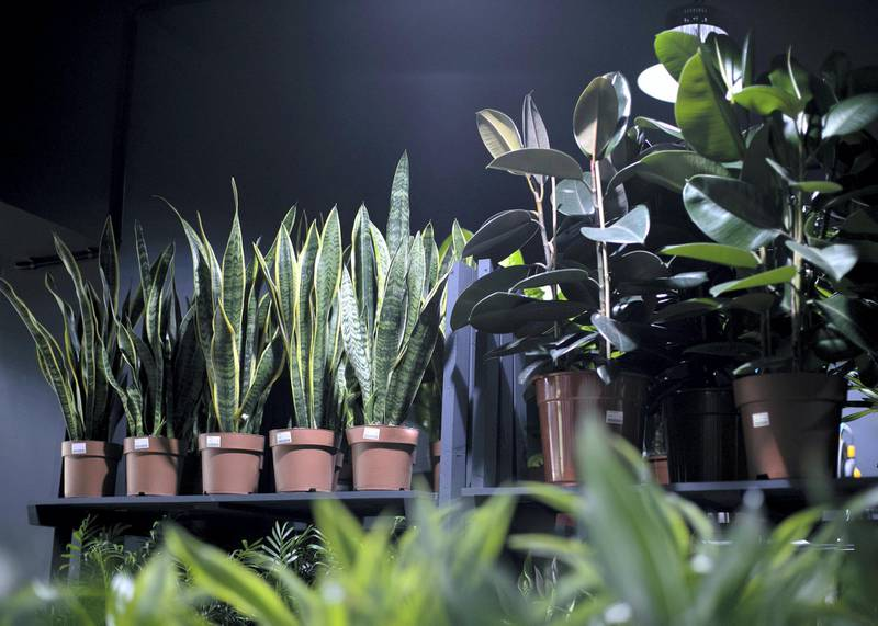 DUBAI, UNITED ARAB EMIRATES - JULY 22 2019.Indoor plants at the newly opened Dubai Garden Center in Jumeira 1, opposite Town Center.(Photo by Reem Mohammed/The National)Reporter: Katy GillettSection: WK