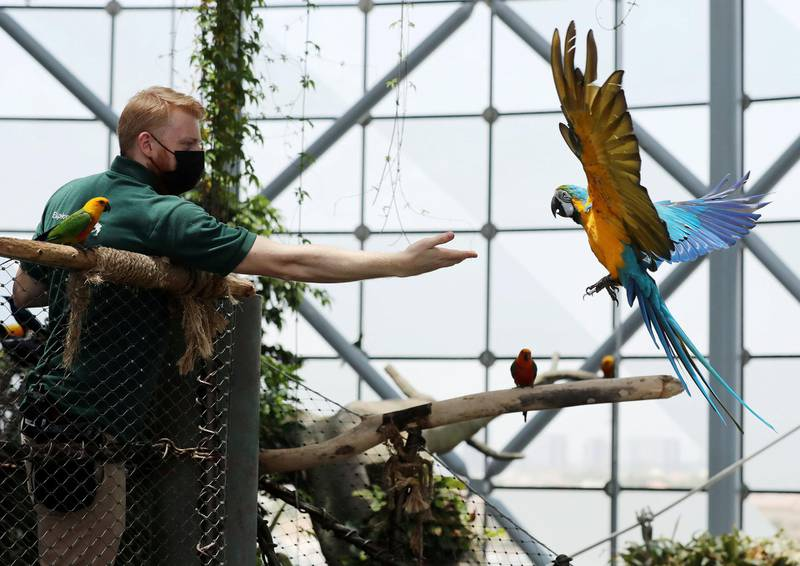 An blue and gold macaw is flies with biologist Matt Whitlock at the Green Planet. A day in the life of keepers at the Green Planet in Dubai on June 16th, 2021. Chris Whiteoak / The National.  Reporter: N/A for Lifestyle