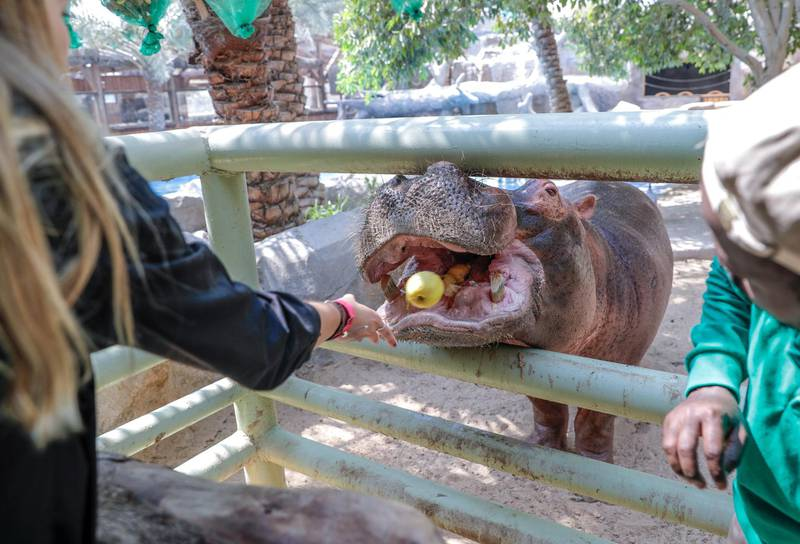 Abu Dhabi, United Arab Emirates, August 4, 2019.  Breakfast with giraffes at the Emirates Park Zoo. 00  Sophie Prideaux feeds Otto the Hippo. Victor Besa/The NationalSection:  NAReporter:  Sophie Prideaux