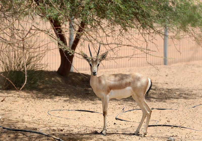 Sharjah, United Arab Emirates - July 10, 2019: Weekend's postcard section. An Arabian sand gazelle at the Mleiha Archaeological Centre. Wednesday the 10th of July 2019. Maleha, Sharjah. Chris Whiteoak / The National