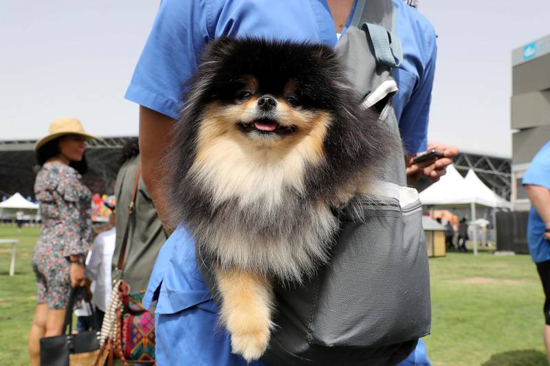 ABU DHABI , UNITED ARAB EMIRATES , APRIL 13   – 2018 :- One of the pet during the pet festival held at DU arena on Yas Island in Abu Dhabi. ( Pawan Singh / The National ) For News