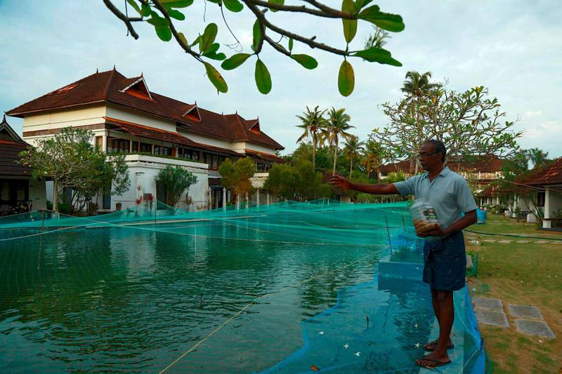 In this picture taken on August 23, 2020, a member of resort staff feeds fish in a swimming pool that has been turned into a fish farm at Aveda Resort in Kumarakom, in Kerala state. A luxury resort in southern India has turned its swimming pool into a fish farm to stop the business sinking amid the pandemic economic crisis. Normally the 150 metre (500 feet) long swimming pool at the Aveda Resort in Kerala state is packed with European tourists. Now thousands of pearl spot fish are causing the splash. / AFP / Arun CHANDRABOSE