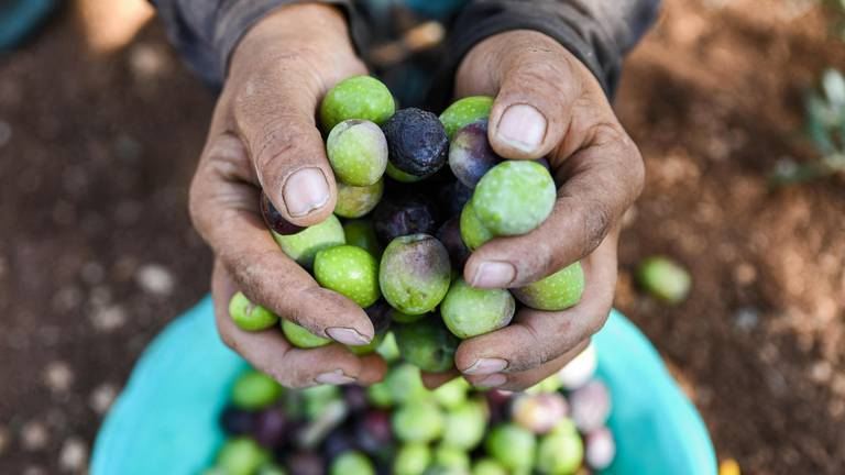 An image that illustrates this article Syrian Kurdish farmers produce olive oil in Aleppo - in pictures