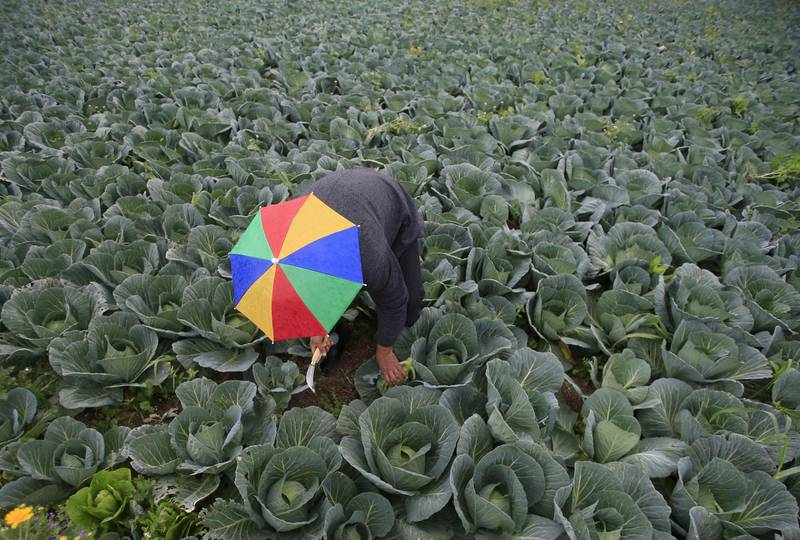 FILE PHOTO: A farmer harvests broccoli in the town of al-Ansariyeh south of Sidon, Lebanon March 15, 2016. REUTERS/Ali Hashisho/File Photo