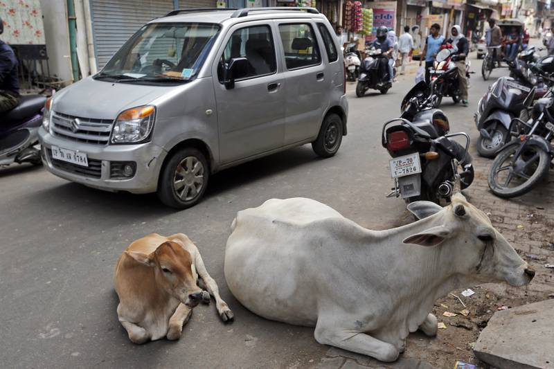 FILE- In this Monday, May 29, 2017, file photo, cows rest on a road in Allahabad, India. India's top court has stayed for three months a ban introduced by the Hindu nationalist government on the sale of cows and buffaloes for slaughter. The Supreme Court on Tuesday approved a lower court ruling which said people have a basic right to choose their food. (AP Photo/Rajesh Kumar Singh, file)
