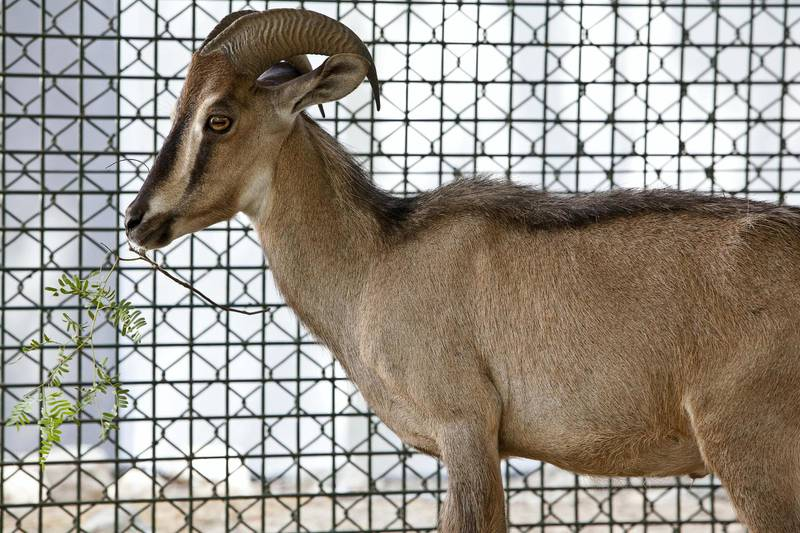 Arabian tahr (Arabitragus jayakari) - IUCN status: Endangered - Restricted to mountainous regions of north-eastern UAE and northern Oman - Worldwide population is probably below 5,000. ANTONIE ROBERTSON / The National