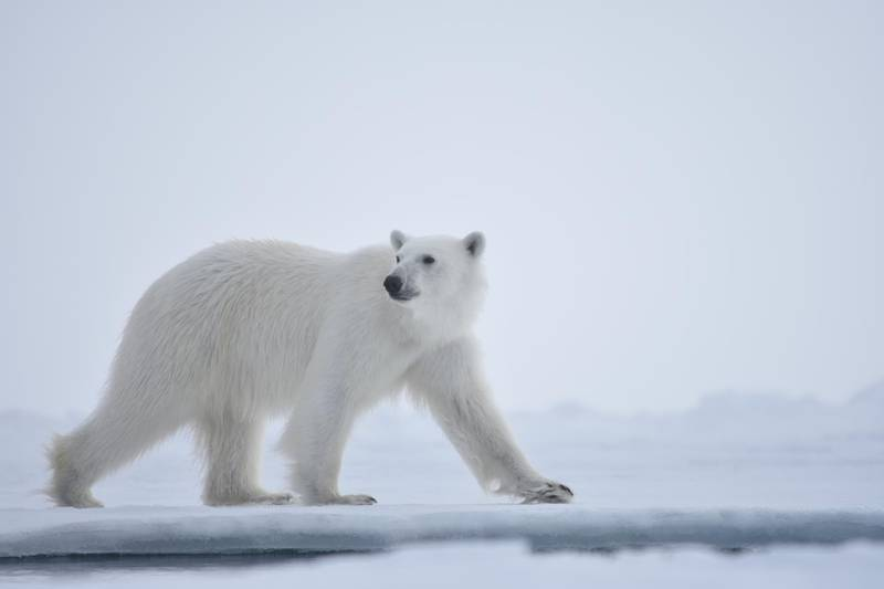 Polar bear searching the ice-edge for food, Admiralty Inlet, Canada.