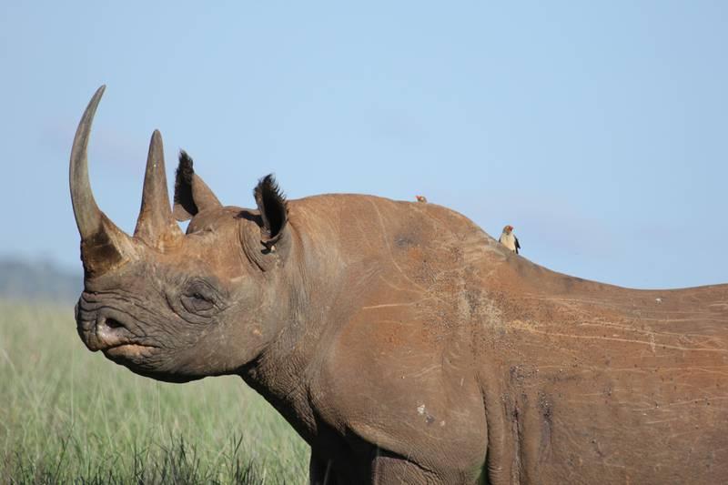 Black rhino. Courtesy Zoological Society of London