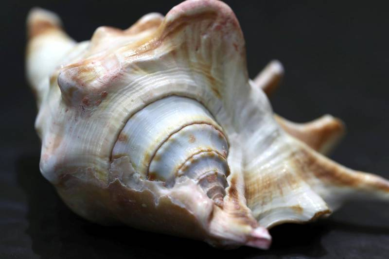 Sharjah, United Arab Emirates - July 10, 2019: Weekend's postcard section. A gastropod found in UAE seas at the Mleiha Archaeological Centre. Wednesday the 10th of July 2019. Maleha, Sharjah. Chris Whiteoak / The National