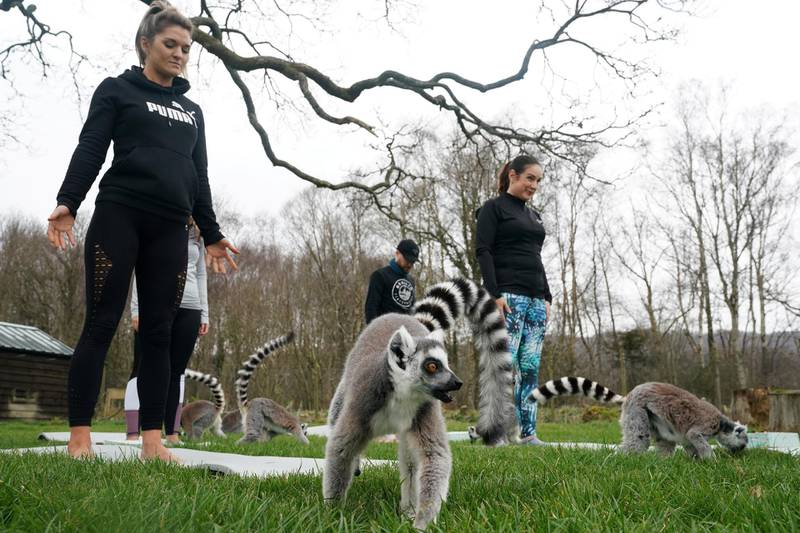 Armathwaite Hall hotel in Keswick, Cumbria holds Lemoga classes with the lemurs from Lake District Wild Life Park mingling with the class to create a personal yoga experience which aims to heighten the sense of wellbeing for both lemur and human.