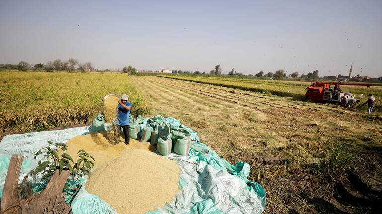 An image that illustrates this article Egyptian rice farmers in Al-Sharkia - in pictures