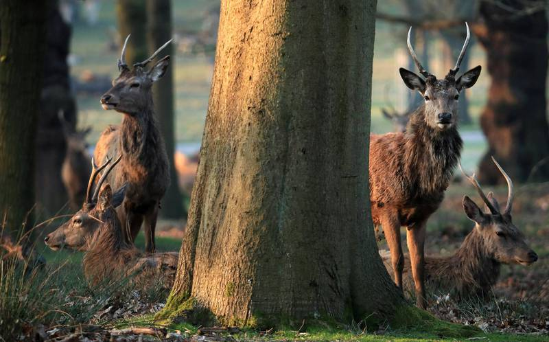 LONDON, ENGLAND - MARCH 27: A herd of deer are pictured in Richmond Park on March 27, 2020 in London, England. The royal parks have remained open as the Coronavirus (COVID-19) pandemic has spread to many countries across the world, claiming over 20,000 lives and infecting hundreds of thousands more. (Photo by Andrew Redington/Getty Images)