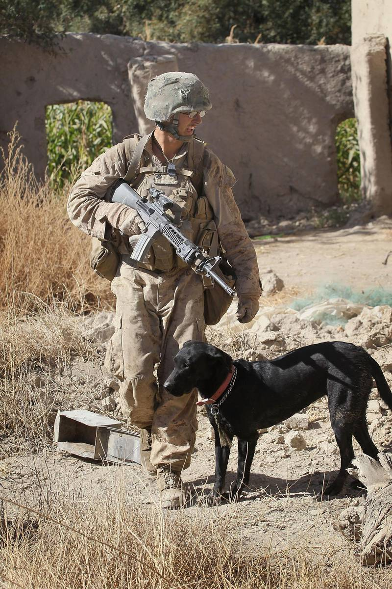 KAJAKI, AFGHANISTAN - OCTOBER 11:  Marine Cpl. Jonathan Eckert of Oak Lawn, IL attached to India Battery, 3rd Battalion, 12th Marine Regiment works his improvised explosive device (IED) sniffing dog Bee as they secure a compound during a patrol near Forward Operating Base (FOB) Zeebrugge on October 11, 2010 in Kajaki, Afghanistan. The Marines of India Battery, 3rd Battalion, 12th Marine Regiment are responsible for securing the area near the Kajaki Dam on the Helmand River.  (Photo by Scott Olson/Getty Images)