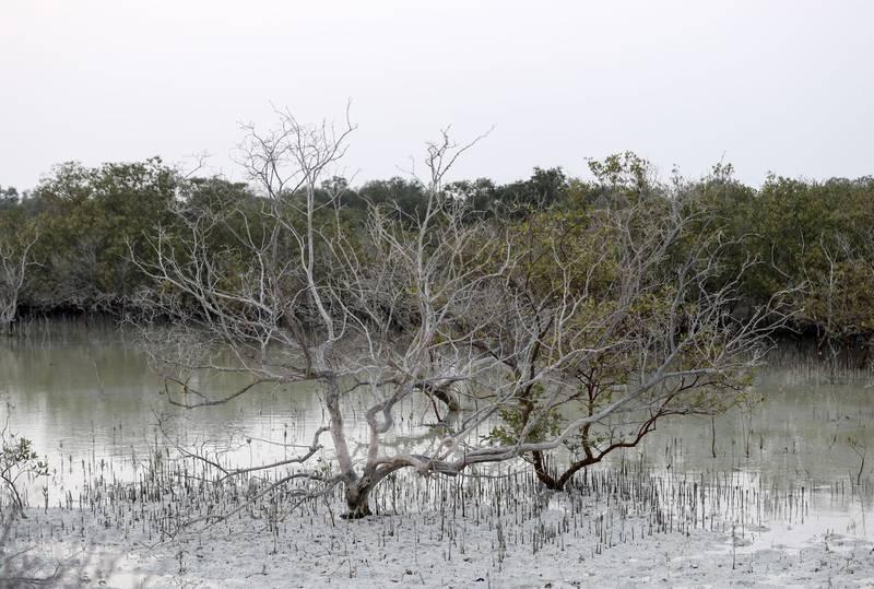 Jubail Mangrove Park-AD Mangroves play an important part in the environment of United Arab Emirates on Jubail Island, June 20, 2021. Khushnum Bhandari/ The National Reporter: N/A News