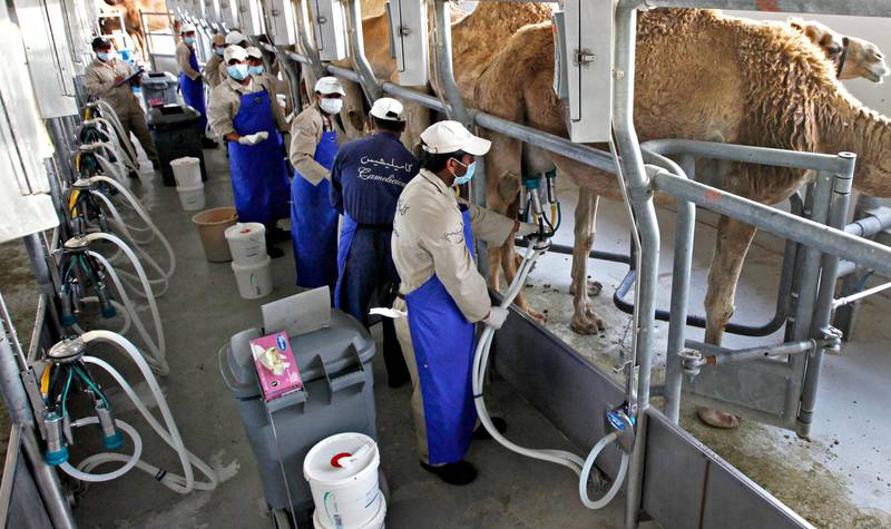 DUBAI,  UNITED ARAB EMIRATES - April 25, 2012 - Workers prepare camels for milking at the Emirates Industry for Camel Milk & Products, the largest Camel dairy in the world and producers of milk products such as 'Camelicous' near Dubai City, Dubai, April 25, 2012. (Photo by Jeff Topping/The National)