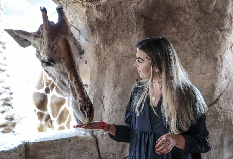 Abu Dhabi, United Arab Emirates, August 4, 2019.  Breakfast with giraffes at the Emirates Park Zoo. —  Sophie Prideaux feeds Amy after gaining her trust during breakfast. Victor Besa/The NationalSection:  NAReporter:  Sophie Prideaux