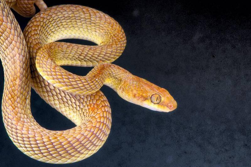 EAGW9C Arabian cat snake / Telescopus dhara