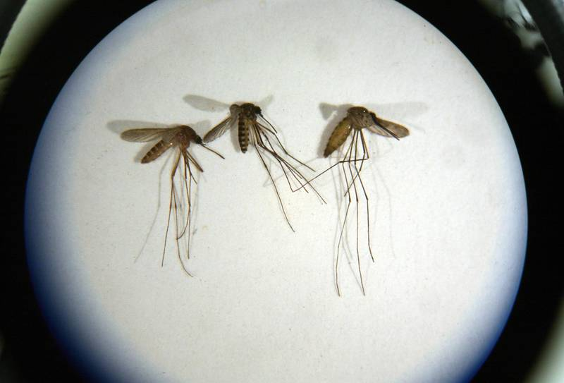 Captured mosquitoes at the Mercer County Mosquito Control Center in Trenton New Jersey.  through a microscopePhoto by Michael Falco