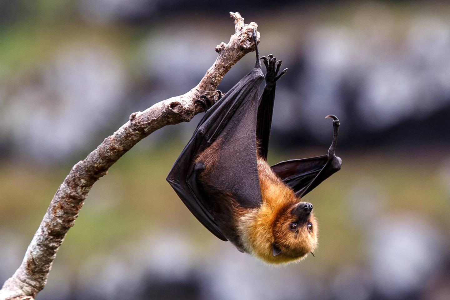 """This handout photo released on May 21, 2018 by the Mauritian Wildlife Foundation shows the Rodrigues Fruit Bat on Rodrigues in the Western Indian Ocean on April 23, 2018.  Animal and plant species are vanishing -- sometimes before we know they exist -- at an accelerating pace, but conservationists are pushing back against the juggernaut of mass extinction. From captive breeding to satellite tracking; restoring habitats to removing predators; shaming multinationals to nursing baby pandas and orangutans -- in all these ways, scientists and other have given doomed creatures a second chance.  / AFP PHOTO / MAURITIAN WILDLIFE FOUNDATION / Jacques de Speville / RESTRICTED TO EDITORIAL USE - MANDATORY CREDIT """"AFP PHOTO / MAURITIAN WILDLIFE FOUNDATION/JACQUES DE SPEVILLE"""" - NO MARKETING NO ADVERTISING CAMPAIGNS - DISTRIBUTED AS A SERVICE TO CLIENTS"""