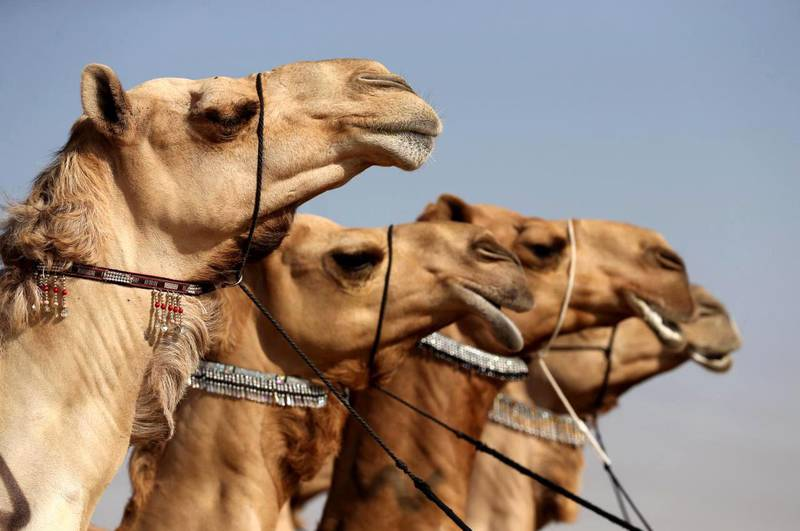 Camels are a major symbol of heritage in the UAE. WAM