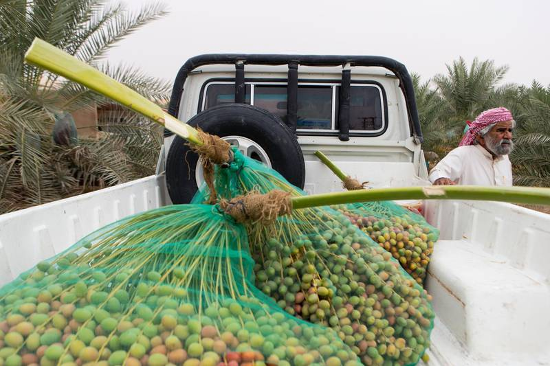 Liwa, United Arab Emirates, July 20, 2017:    Ali Al Mehri at his nephews farm in the Al Dhafra Region of Abu Dhabi on July 20, 2017. Al Mehri's nephew, Rashed Abdullah, won the heaviest branch competition at this year's Liwa Date festival whicgh runs from July 19th to 29th. Christopher Pike / The NationalReporter: Anna ZachariasSection: News