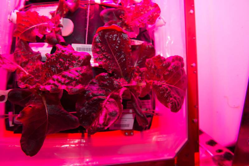 """Astronauts on the International Space Station are ready to sample their harvest of a crop of """"Outredgeous"""" red romaine lettuce from the Veggie plant growth system that tests hardware for growing vegetables and other plants in space.Credits: NASA"""