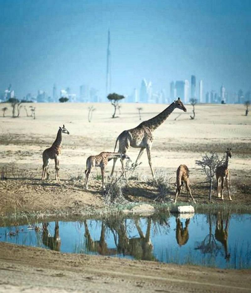 Stand tall. #MyDubai #Giraffe #Sanctuary