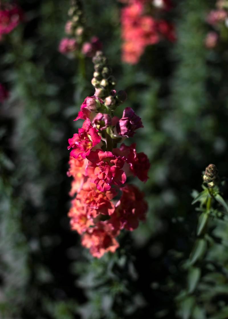 FUJAIRAH, UNITED ARAB EMIRATES.  16 FEBRUARY 2021. Snapdragon flowers at Mohammed Al Mazroui's UAE Flower Farm in Asimah valley.Photo: Reem Mohammed / The NationalReporter: Alexandra Chavez