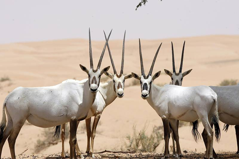 Arabian oryx (Oryx leucoryx) - IUCN status: Vulnerable - Formerly listed as endangered, the UAE's reintroduction programme has helped to increase numbers - The wild population is about 1,200, just over half of which are UAE reintroduced individuals. Mike Young / The National