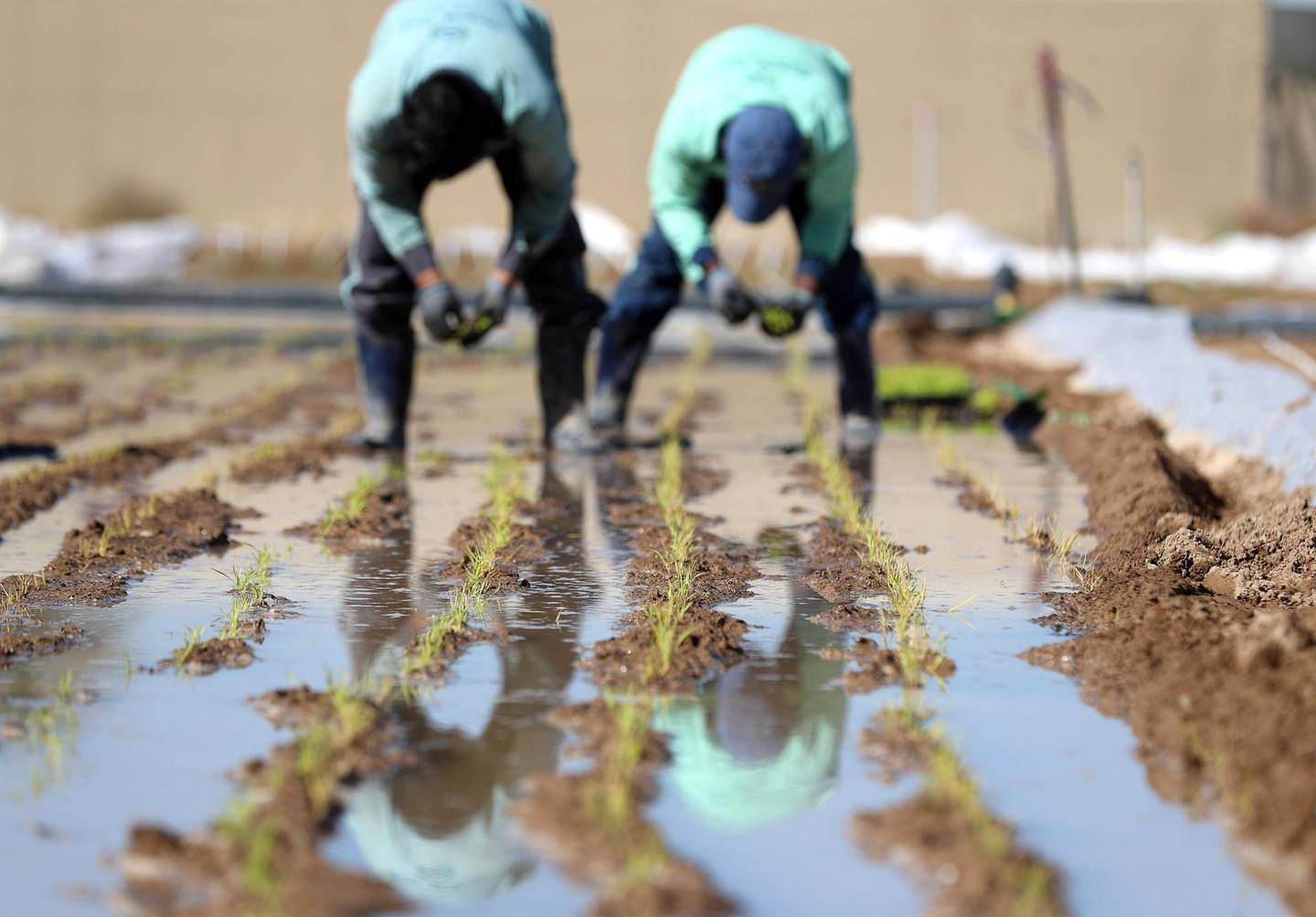 Sharjah, United Arab Emirates - Reporter: Sarwat Nasir. News. Food. People transplant rice plants at a rice farm, as part of research by the ministry to enhance UAEÕs food security. Sharjah. Monday, January 11th, 2021. Chris Whiteoak / The National