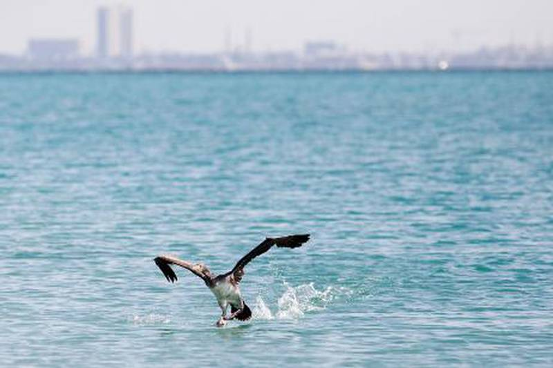 Dubai, Jan 17th, 2012 -- A rare socotra cormorant spreads its wings and flies for the first time off the shore of World Islands after being released by Dr Peter Jaworski, a bird specialist at the Modern Veterinary Clinic in Al Safa. Jaworski rehabilitated the bird for two weeks, after it was found weak and covered in oil on the beach at Jumeirah Beach Residences. Photo by: Sarah Dea/ The National
