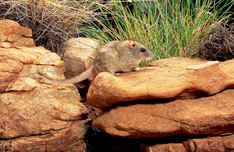 Antina or Central rock-rat, Zyzomys pedunculatus, rediscovered September 1996. Central Australia, Northern Territory, Australia. (Photo by: Auscape/UIG via Getty Images)