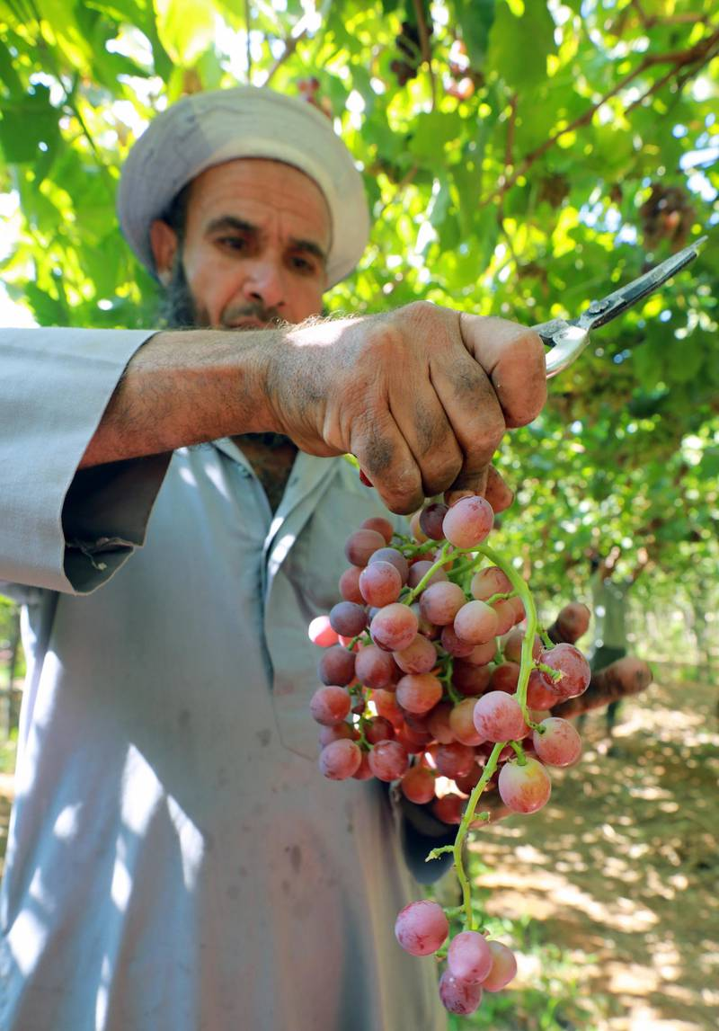 epa09270380 A worker harvests grape at the farm in Khatatba al-Minufiyah Governorate in Egypt, 14 June 2021. Table grape of this farm is exported to the EU countries, mainly Germany, England and Netherlands.  EPA-EFE/KHALED ELFIQI *** Local Caption *** 56967456