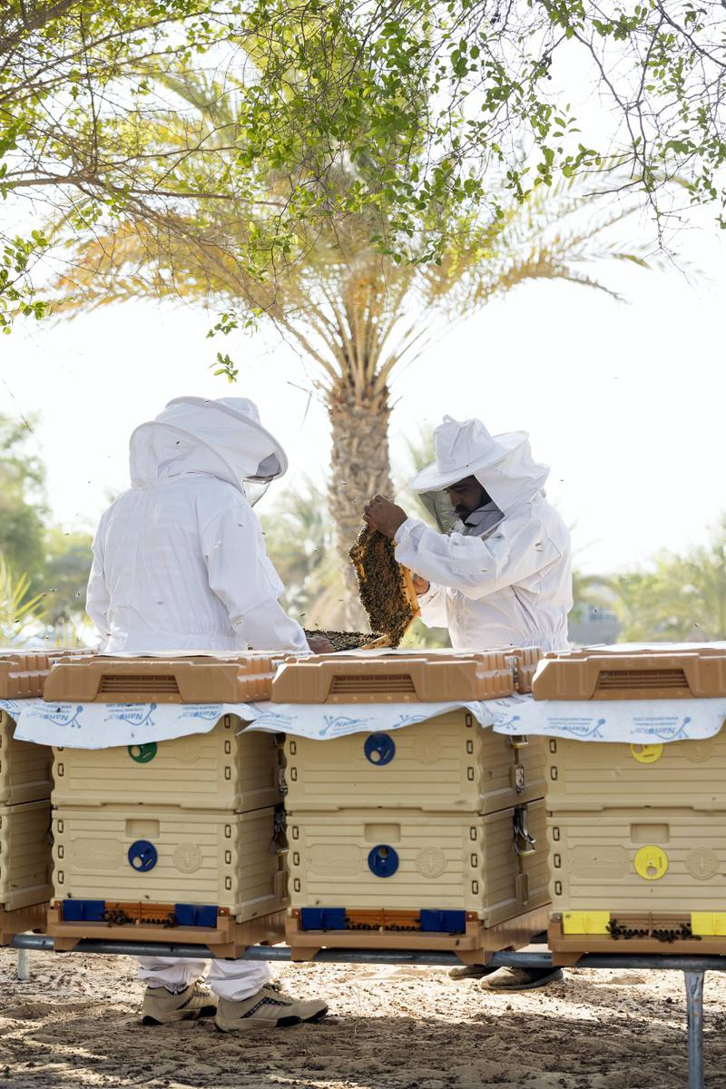 Abu Dhabi, United Arab Emirates - September 25th, 2017: Workers at the apiary check on the bees in the hives. Al Najeh Honey Sale. Monday, September 25th, 2017 at near Al Samha, Abu Dhabi.