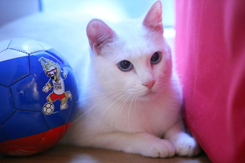 ST PETERSBURG, RUSSIA  MARCH 1, 2018: Deaf cat Achilles from the State Hermitage Museum plays at the Respublika Koshek [Cat Republic] cat cafe, his new home. The cat will become the animal oracle that predicts the results of 2018 FIFA World Cup matches by choosing a bowl under a national flag. Pictured on the ball is Wolf Zabivaka, official mascot of the 2018 FIFA World Cup. Peter Kovalev/TASS (Photo by Peter Kovalev\TASS via Getty Images)