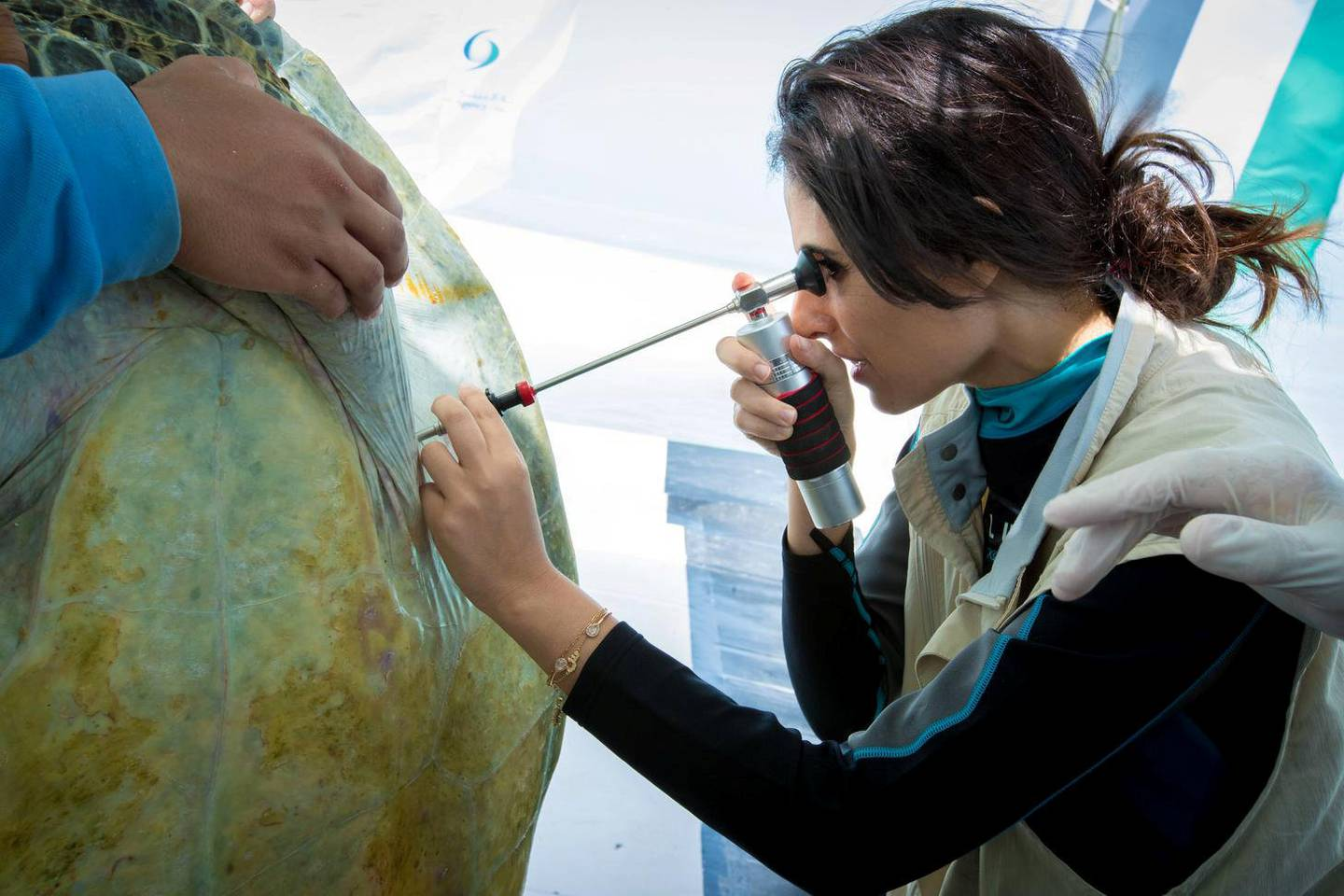 Razan Al Mubarak, founding managing director of the Mohamed bin Zayed Conservation Species Fund (The MBZ Fund), tagging and releasing of four endangered Green turtles off Bu Tinah Island. United Arab Emirates. courtesy: MBZ Fund Relief Grants