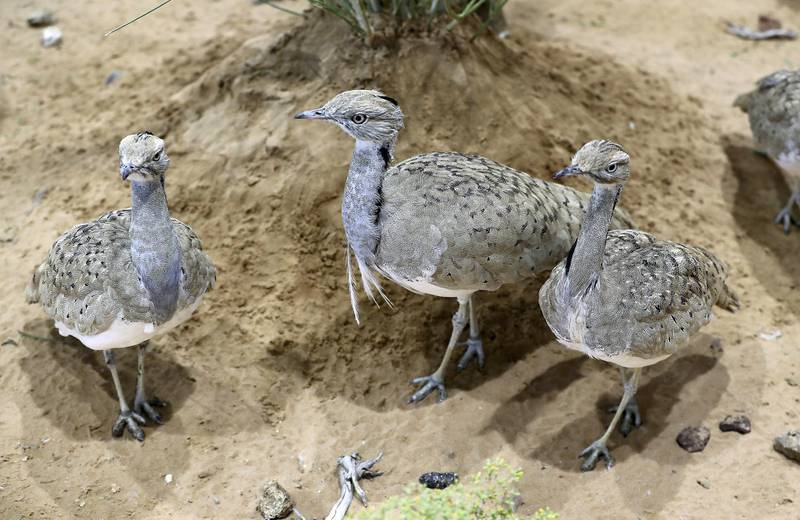 ABU DHABI ,  UNITED ARAB EMIRATES , AUGUST 27 – 2019 :- Houbara birds at the International Fund For Houbara Conservation stand during the ADIHEX 2019 held at ADNEC in Abu Dhabi. ( Pawan Singh / The National ) For News/Online/Instagram/Big Picture. Story by Daniel