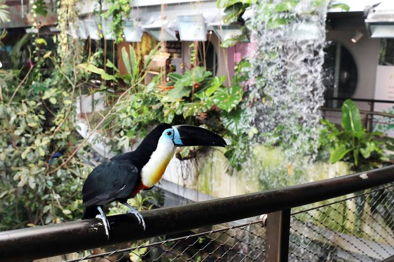 Dubai, United Arab Emirates - July 03, 2019: Channel billed toucan. The Green Planet for Weekender. Wednesday the 3rd of July 2019. City Walk, Dubai. Chris Whiteoak / The National