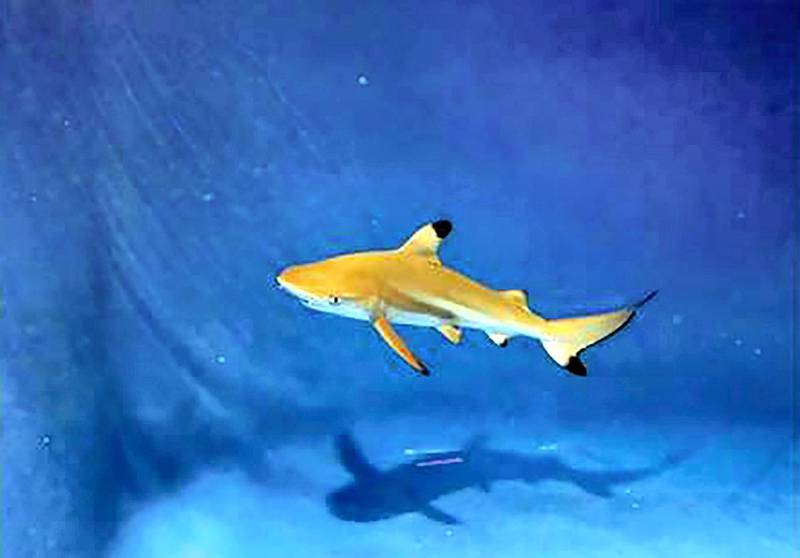 Blacktip reef shark (Carcharhinus melanopterus) - IUCN status: Near threatened - Populations have suffered because of fishing - This species was spotted this year off the UAE's east coast