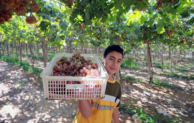 epa09270270 A worker harvests grape at the farm in Khatatba al-Minufiyah Governorate in Egypt, 14 June 2021. Table grape of this farm is exported to the EU countries, mainly Germany, England and Netherlands.  EPA-EFE/KHALED ELFIQI *** Local Caption *** 56967347