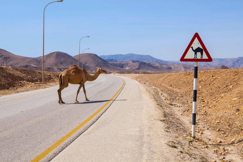 FRW6X7 Camel crossing the road near Salalah, Oman. Jurate Buiviene / Alamy Stock Photo