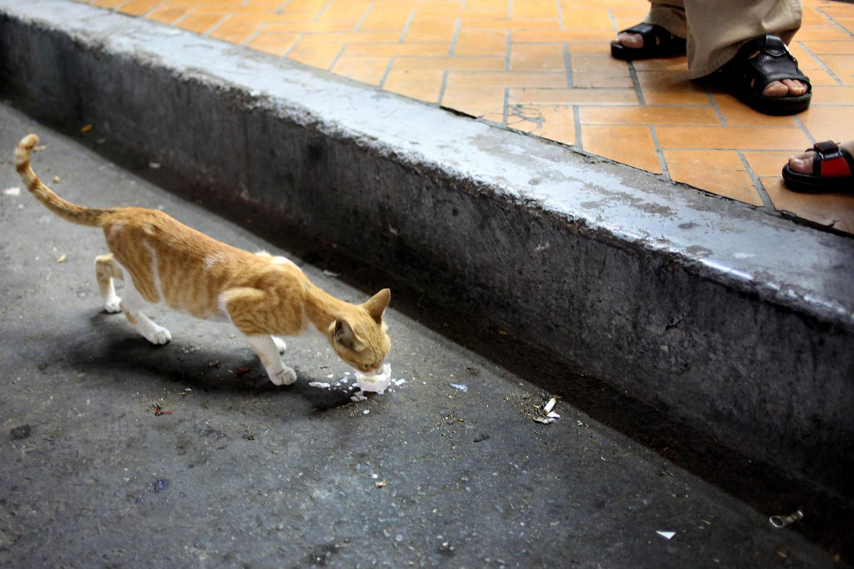 June 15, 2010 / Abu Dhabi / (Rich-Joseph Facun / The National) A stray cat has a taste of milk in the Al Najda neighborhood, Wednesday, June 15, 2010 in Abu Dhabi.