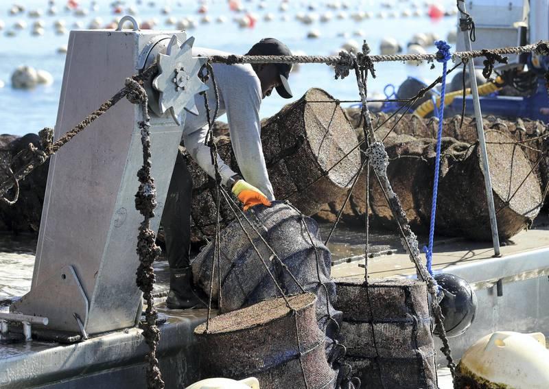 Fujairah, United Arab Emirates - Reporter: Kelly Clark. News. The ocean farm. Visit to the Dibba Bay Oysters farm in Fujairah. Dibba, Fujairah. Wednesday, January 13th, 2021. Chris Whiteoak / The National