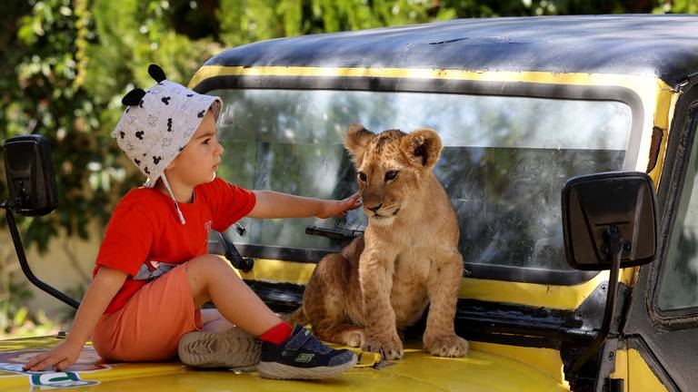 An image that illustrates this article A visit to a lion park in Turkey - in pictures