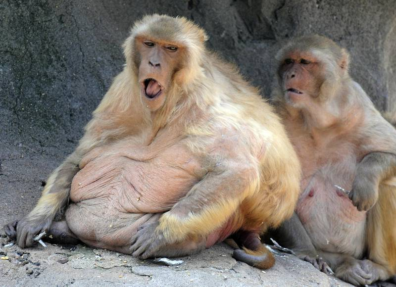 Fat monkeys spend their time in a 420-square-meter enclosure at Ohama park in Sakai, Osaka Prefecture on May 4, 2008.  A local report in April said that about 30 percent of the some 50 Macaca mulatta monkeys appeared to be overweight, due to overfeeding by visitors, which has alarmed the park's overseers.   AFP PHOTO / KAZUHIRO NOGI (Photo by KAZUHIRO NOGI / AFP)