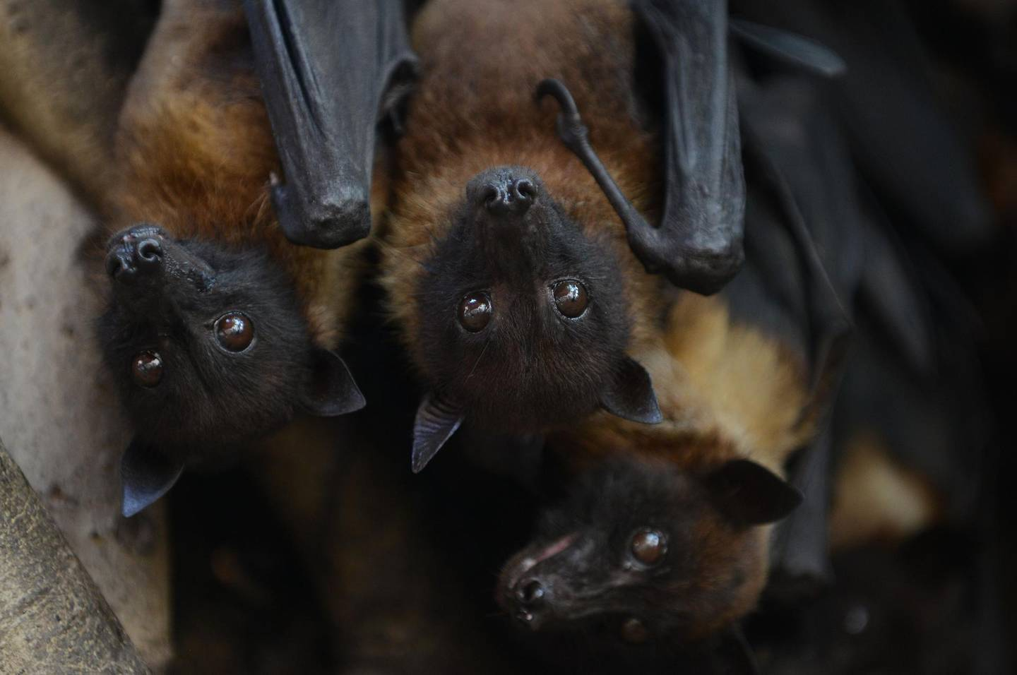 (FILES) In this file photo taken on April 29, 2018 Indian bats cling onto the branches of a banyan tree on the campus of Gujarat College in Ahmedabad. A virus mainly carried by fruit bats which has spread across Asian nations has killed at least three people in southern India causing panic in the locality, officials said. / AFP / SAM PANTHAKY
