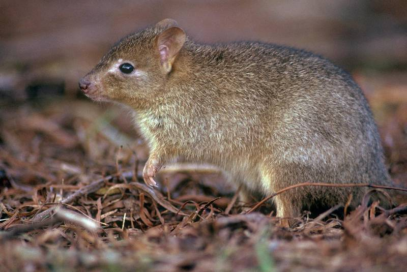 Woylie or brush-tailed bettong (Bettongia penicillata). Getty Images